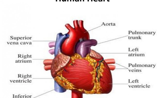 علل تپش قلب و خوراکی های مفید برای آن